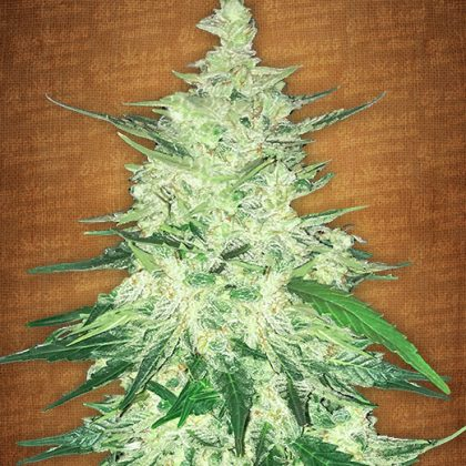Fast Buds Seeds CBD Crack