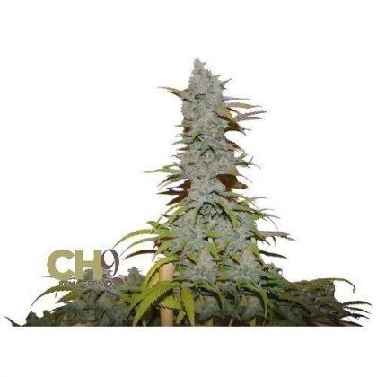 CH9 female seeds Jack