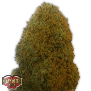 Heavyweight Seeds Champion Feminised Seeds