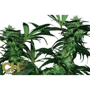 CH9 female seeds Critical Mass 33