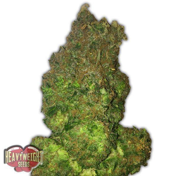 Heavyweight Seeds Auto Fruit Punch Feminised Seeds