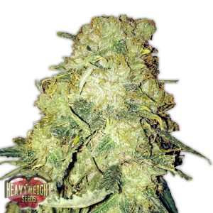 Heavyweight Seeds Goldmine Feminised Seeds