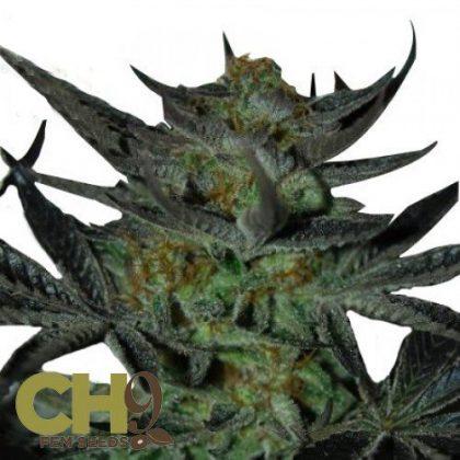 CH9 female seeds Herijuanajack 33