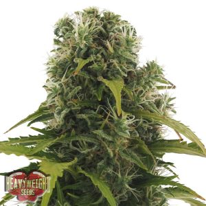 Heavyweight Seeds Auto High Density Feminised Seeds