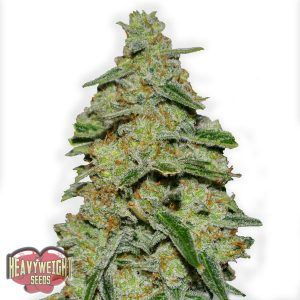 Heavyweight Seeds Lemon Cake Feminised Seeds