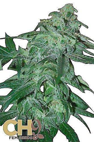 CH9 female seeds POW 33