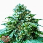 Heavyweight Seeds Superb OG Feminised Seeds