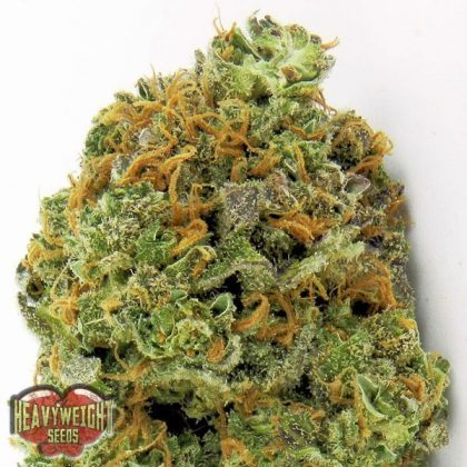 Heavyweight Seeds Auto Wipeout Express Feminised Seeds