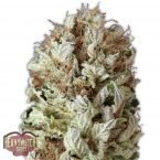 Heavyweight Seeds Extreme Impact Auto female seeds