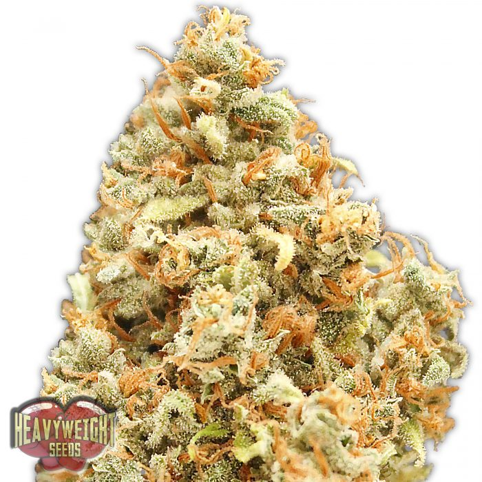 Heavyweight Seeds Monster Profit female seeds