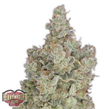 Heavyweight Seeds total Paralysis female seeds