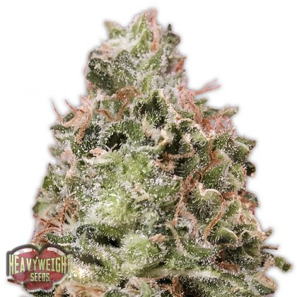 Heavyweight Seeds Waist Deep Auto female seeds