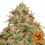 Barney's Farm CBD lemon Potion Auto female seeds