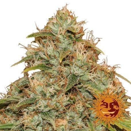 Barney's Farm CBD lemon Potion Auto female seeds