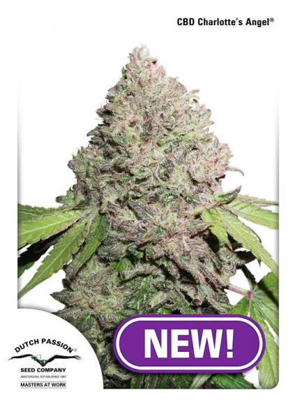 Dutch Passion CBD Charlotte's Angel female seeds