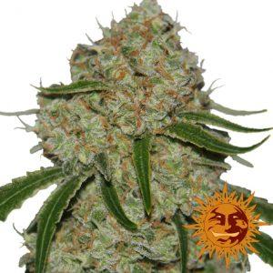 Barney's Farm Phantom OG female seeds