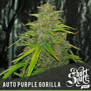 Shortstuff seeds Auto Purple Gorilla feminised