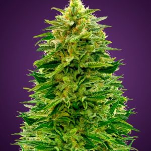 Advanced seeds Auto Amnesia feminised seeds