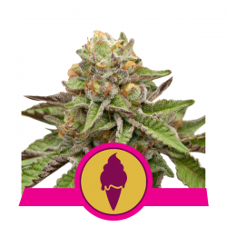 Royal Queen Seeds Green Gelato feminised seeds