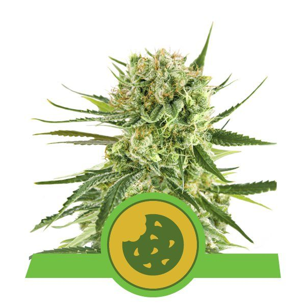 Royal Queen Seeds Royal Cookies Auto Feminised seeds