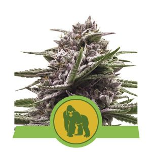 Royal Queen Seeds Royal Gorilla Auto feminised seeds