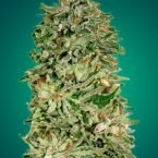 Advanced seeds Shark Widow CBD feminised seeds