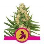 Royal Queen Fat Banana feminized seeds