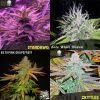 Free cannabis seeds every order