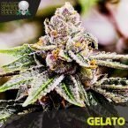 Blackskull Gelato feminized seeds