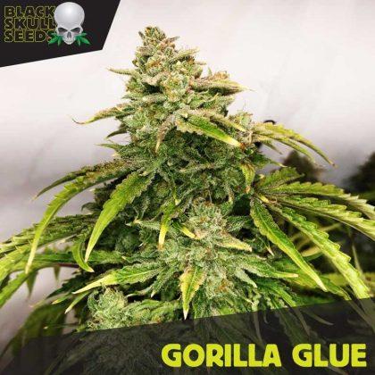 Blackskull Gorilla Glue feminized seeds