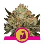 Royal Queen HulkBerry Feminized seeds