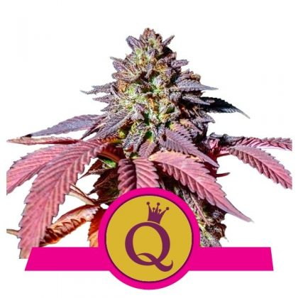 Royal Queen Purple Queen Feminized seeds