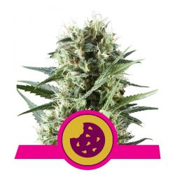 Royal Queen Royal Cookies feminized seeds