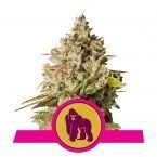 Royal Queen Royal Gorilla feminized seeds