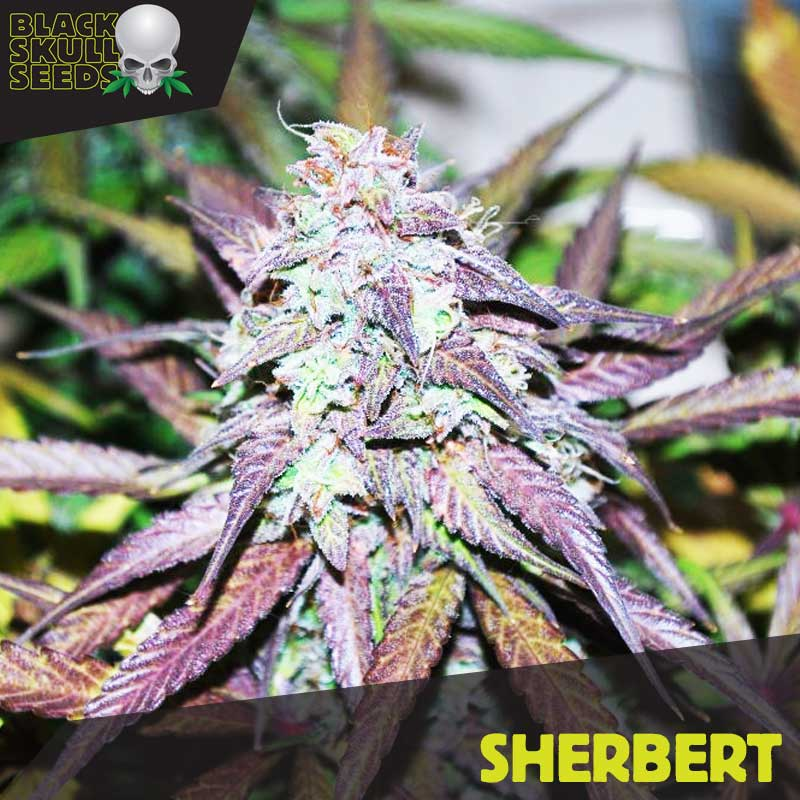 Sherbet feminized seeds