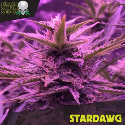 star dog feminized seeds
