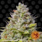 Barneys Farm Blue Gelato 41 feminised seeds