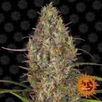 Barneys Farm Glue Gelato Auto feminised seeds