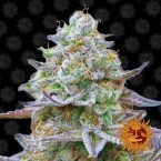 Barneys Farm Gorilla Zkittlez feminised seeds