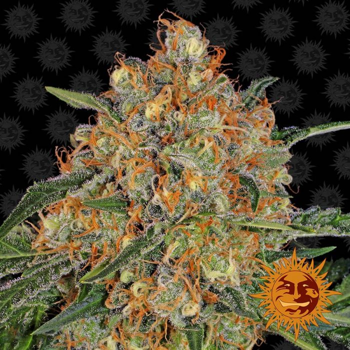 Barneys Farm Orange Sherbert feminised seeds