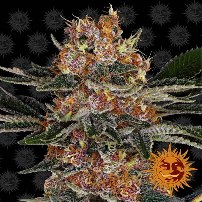 Barneys Farm Purple Punch feminised seeds