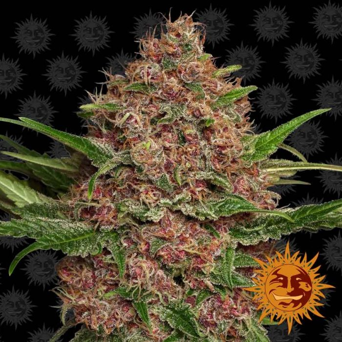 Barneys Farm Purple Punch Auto feminised seeds