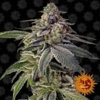 Barneys Farm Shiskaberry feminised seeds