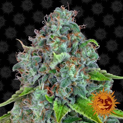Barneys Farm Strawberry Lemonade feminised seeds