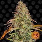 Barneys Farm Zkittlez OG Auto feminised seeds