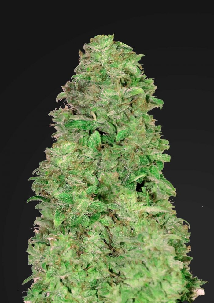 Fast Buds CBD Auto 20:1 feminised seeds