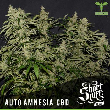 Shortstuff seeds Auto Amnesia CBD feminised