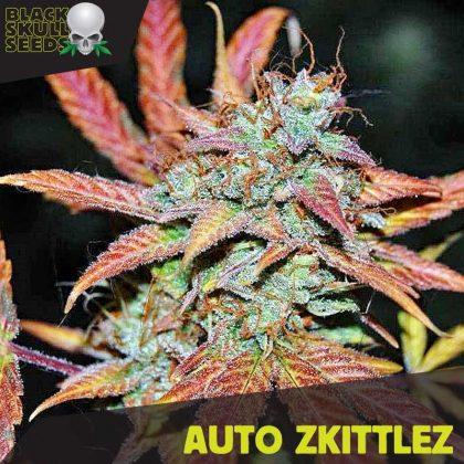 Blackskull Auto Zkittlez feminized seeds