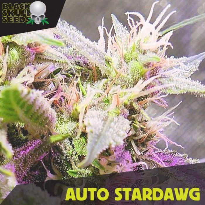 Blackskull Auto Star Dog feminized seeds
