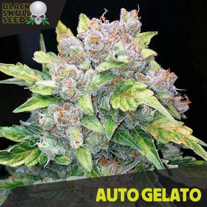 Blackskull Auto Gelato feminized seeds